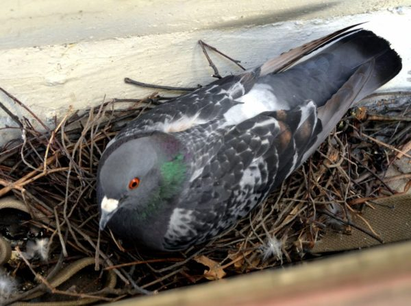 Отпугивающие голубей запахи эффективны только в пределах гнезда