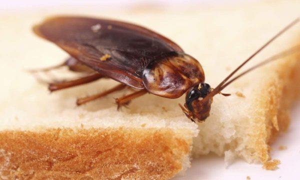Тараканы не прочь доесть то, что вы не убрали
