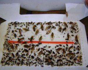Простоя ловушка от тараканов - скотч