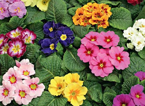 Обманчивая красота цветения примулы.